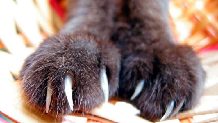 cat scratch fever disease