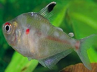 Disease in fish.