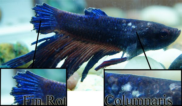 5 Common Aquarium Fish Diseases Symptoms Cure