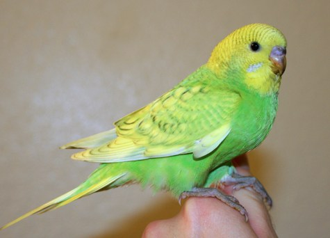 budgerigar-bird-pet