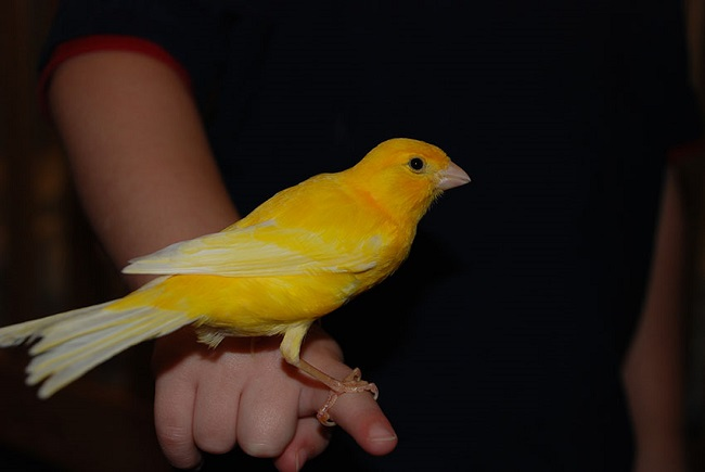 canary-bird-pet