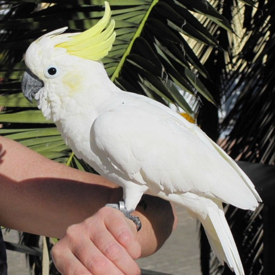 cockatoo-bird-pet