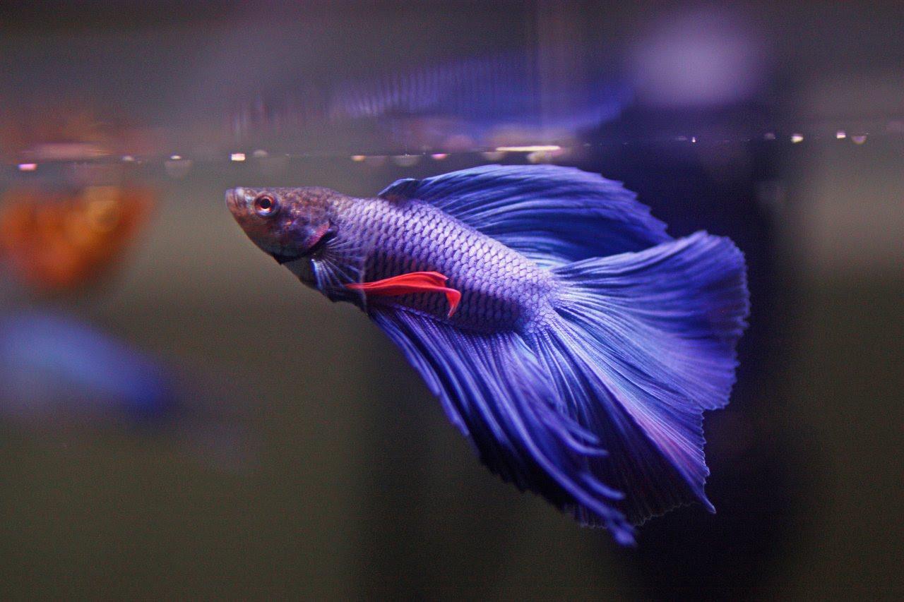 Freshwater fish.