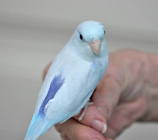 parrotlet-bird-pet