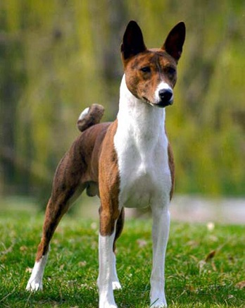 dog breed that doesn't bark