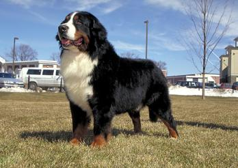 berner dog breed