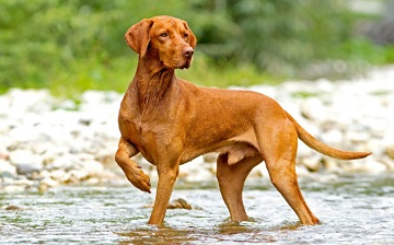 dog breed vizsla