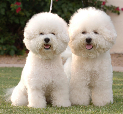 bichon dog breed