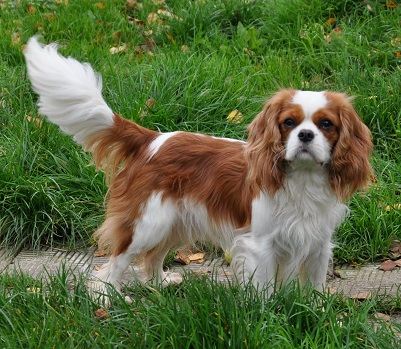 dog breed king charles