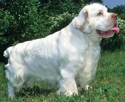 dog breed spaniels