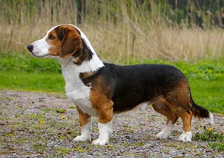 short leg dog breed