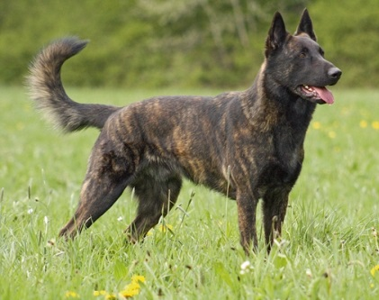netherlands dog breed