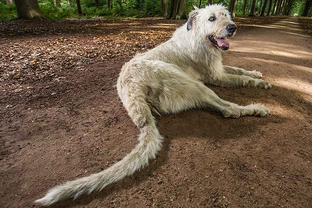 longest tail dog breed