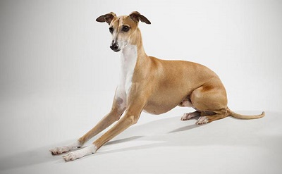 miniature dog breed of greyhound