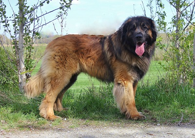 dog breed that looks like lion