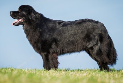 feist dog breed