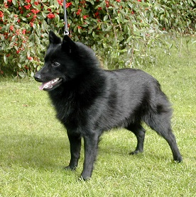 dog breed schipperke