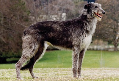 scotty dog breed