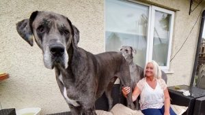 tallest dog great dane facts