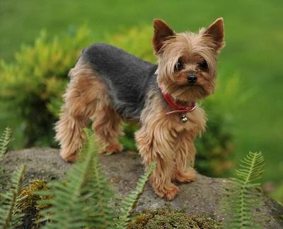 yorkie dog breed