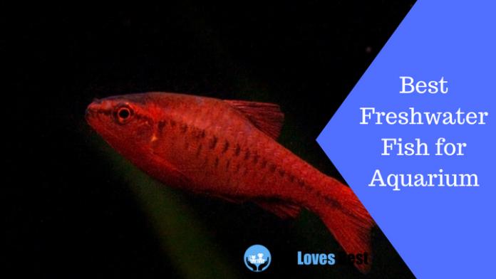 Featured Image Best Freshwater Fish for Aquarium