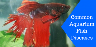 Featured Image Common Aquarium Fish Diseases