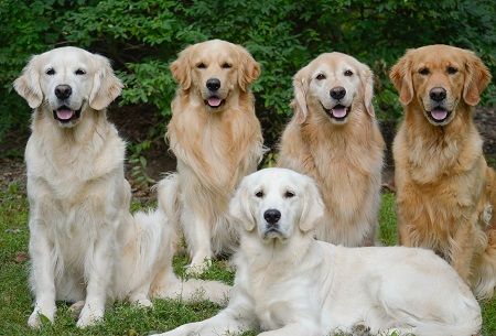 Golden Retriever Dog Breed Characteristics Facts And Names Pet