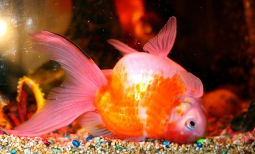 Swim Bladder Disorder