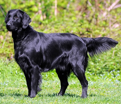 flat coated retriever vs golden retriever