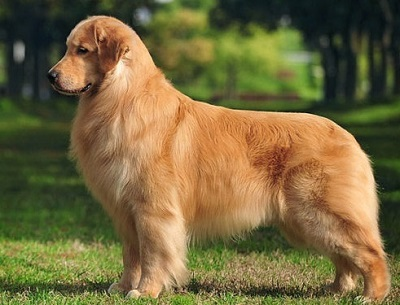 fat golden retriever