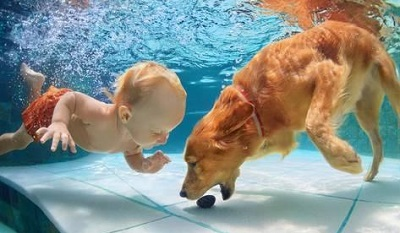 cute golden retriever puppies swimming
