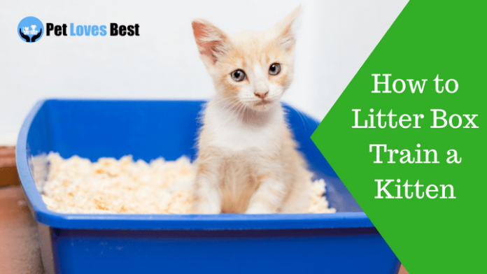 Featured Image How to Litter Box Train a Kitten