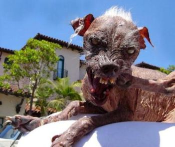three times ugly dog contest winner