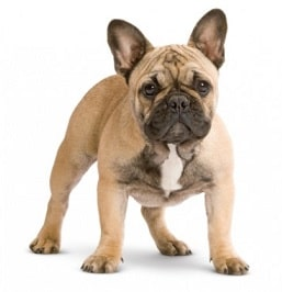french dog dog breed overview