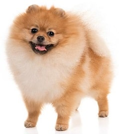 Pomeranian dog breed overview