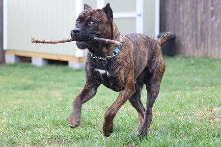 cane corso playing fetch