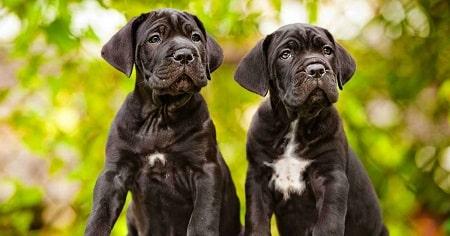 cane coso pups