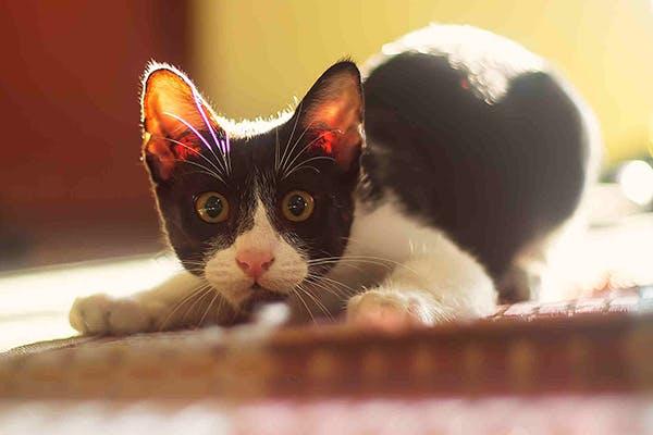electric cat collar
