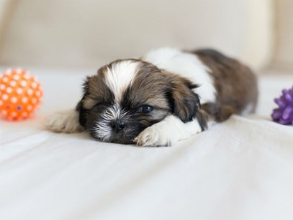 shih tzu pup on a couch