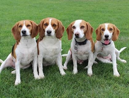 Beagles in park