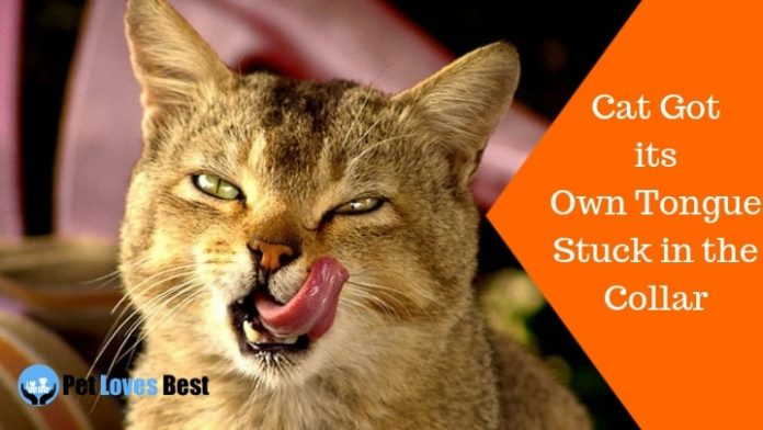 Featured Image Cat Got its Own Tongue Stuck in the Collar