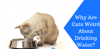 Featured Image Why Are Cats Weird About Drinking Water?