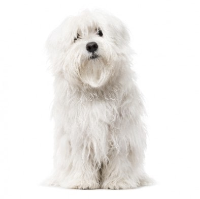 Maltese Dog Breed Overview