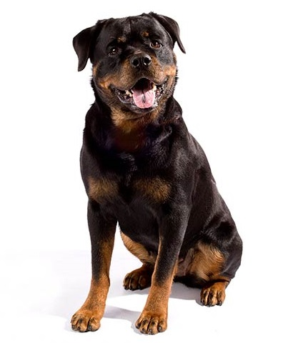 Rottweiler Dog Breed Overview