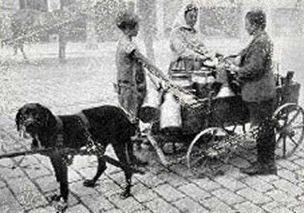 Rottweiler working