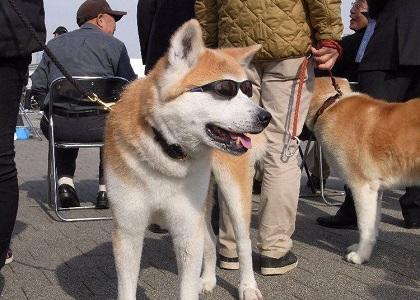 akita in shades