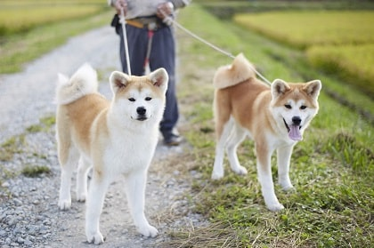 akita with leash