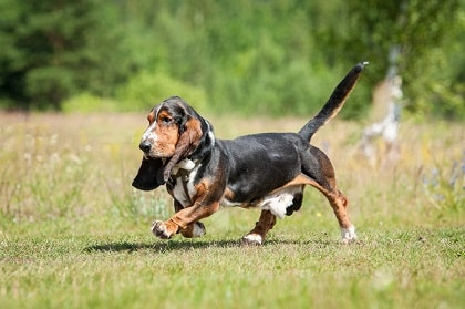 basset hound health problems