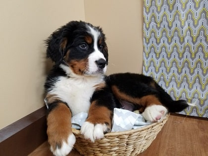 bernesed mountain dog in a basket
