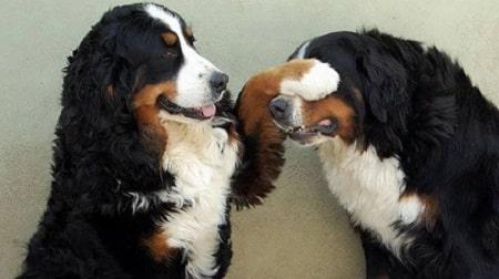 berenese cute dogs